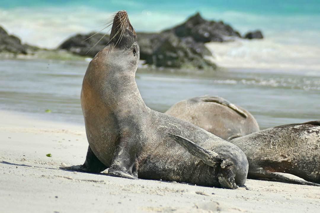 Galapagos_Espanola_Zeeleeuw