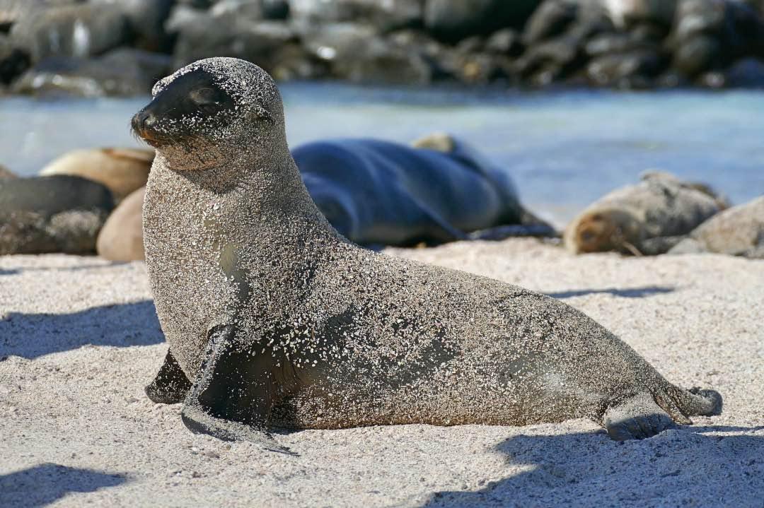 Galapagos Zeeleeuw op Espanola eiland