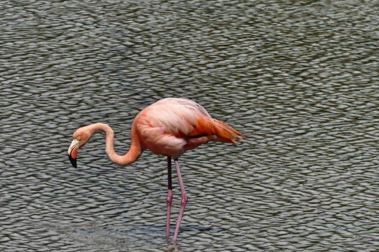 Flamingo Op Galapagos Eiland Isabela