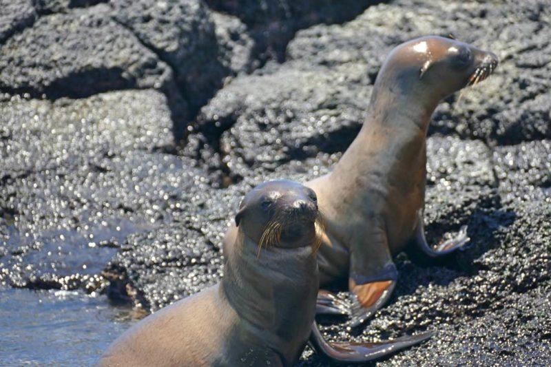 Zeeleeuwen Bij San Cristobal Op De Galapagoseilanden