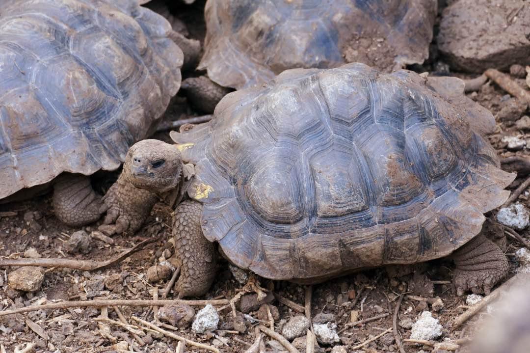Galapagos reuzenschildpad