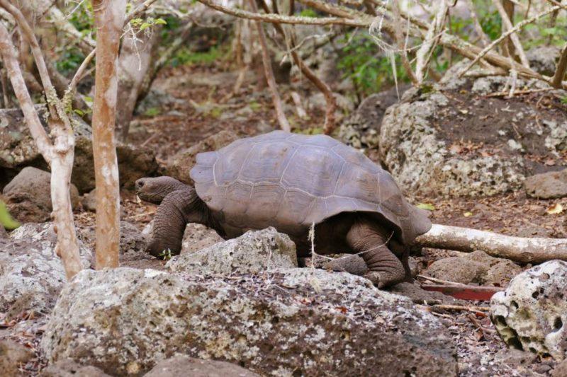 Galapagos_San_Cristobal_Galapaguera_Reuzenschildpad