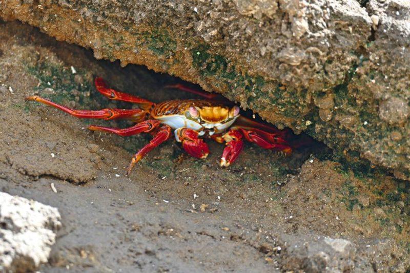Kleurrijke Krabben Op San Cristobal