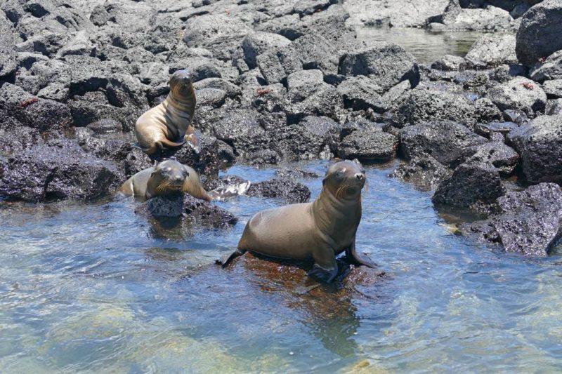 Zeeleeuwen Bij San Cristobal Op De Galapagos