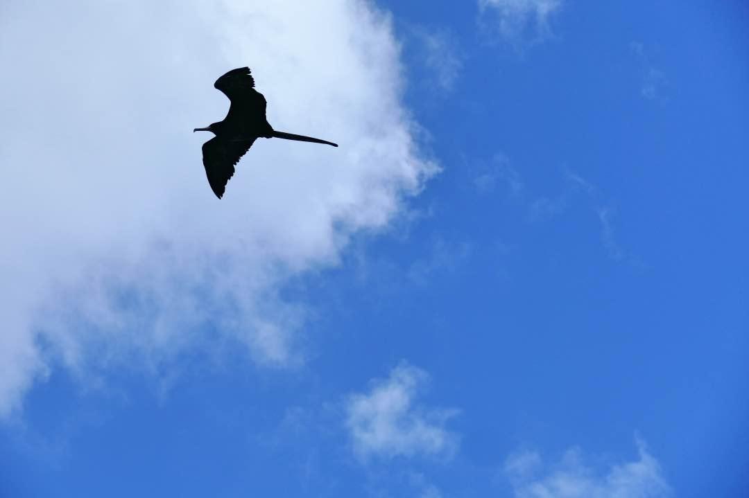 Vliegende Fregat op de Galapagos