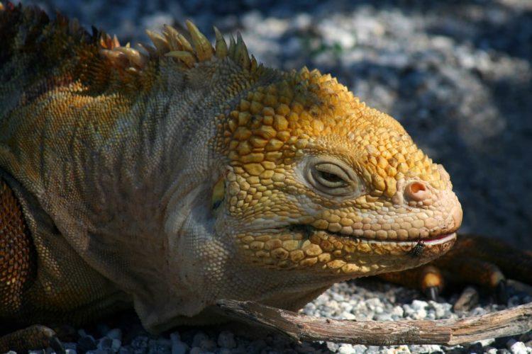 Galapagos Expeditie Iguana