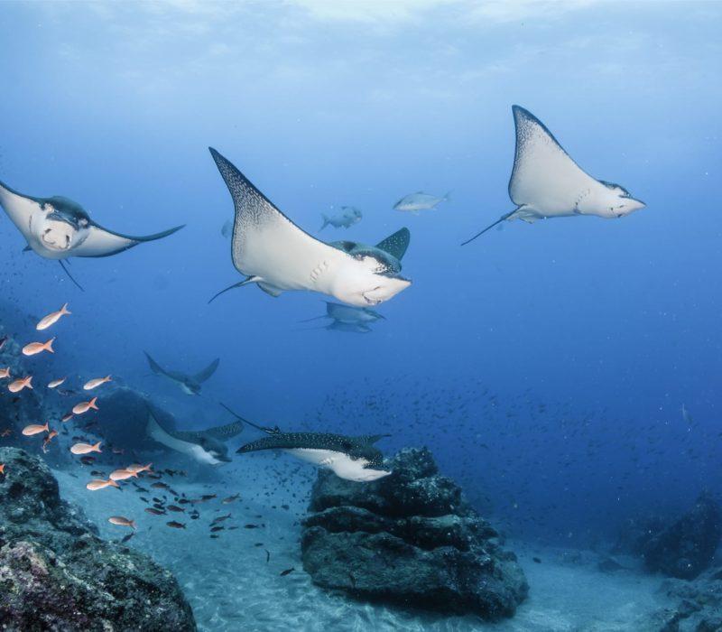 Duikvakantie Galapagos Manta's