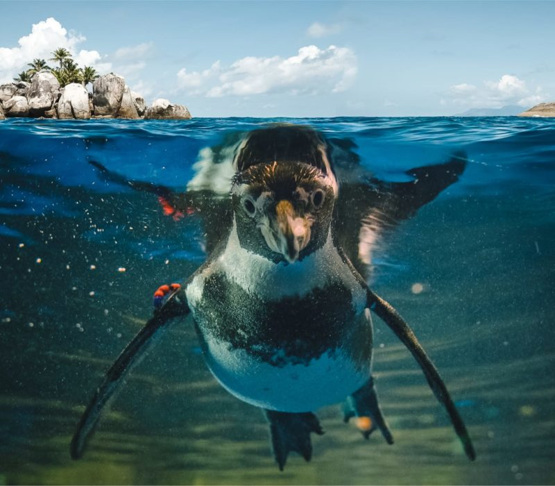 Galapagos Pinguïn Isabela