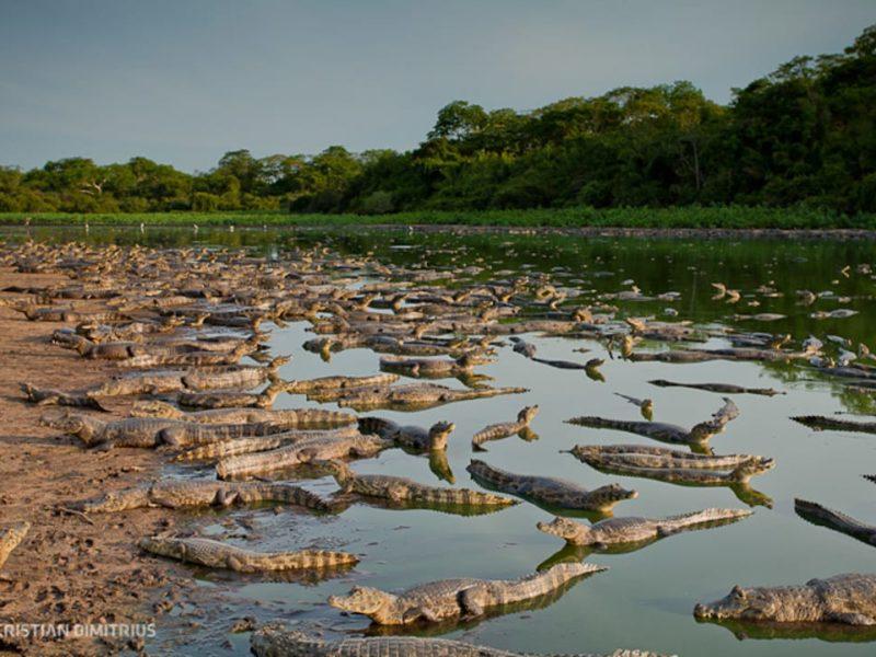 Noord Pantanal Krokodillen