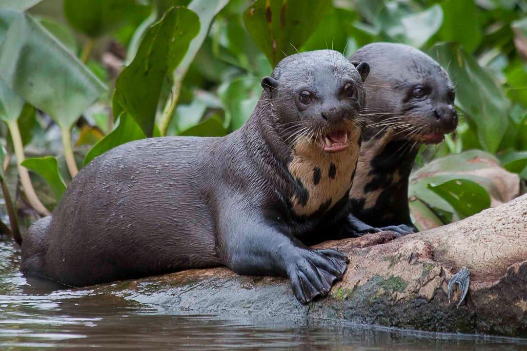 Pantanal giant river otter