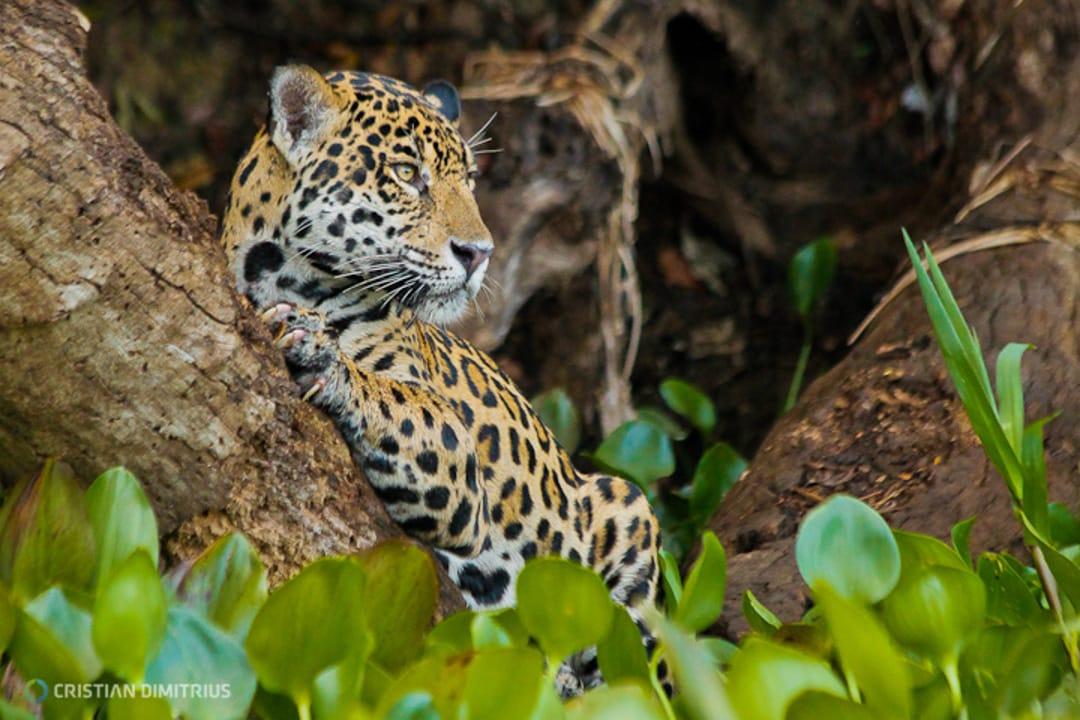 Brazilie Pantanal Jaguar in de boom