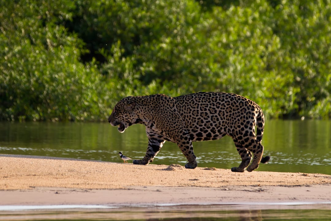 Brazilie north Pantanal Jaguar