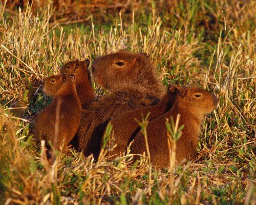 Individuele Rondreis Argentinië Esteros Del Ibera Rincon Del Socorro Capibaras