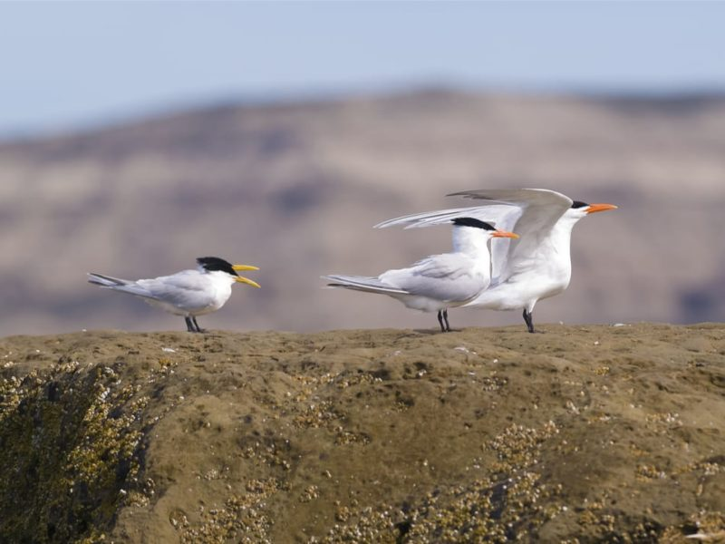 Argentinië Peninsula Valdes Zeevogels