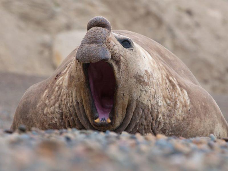 Individuele Rondreis Argentinië Peninsula Valdes Zeeolifanten