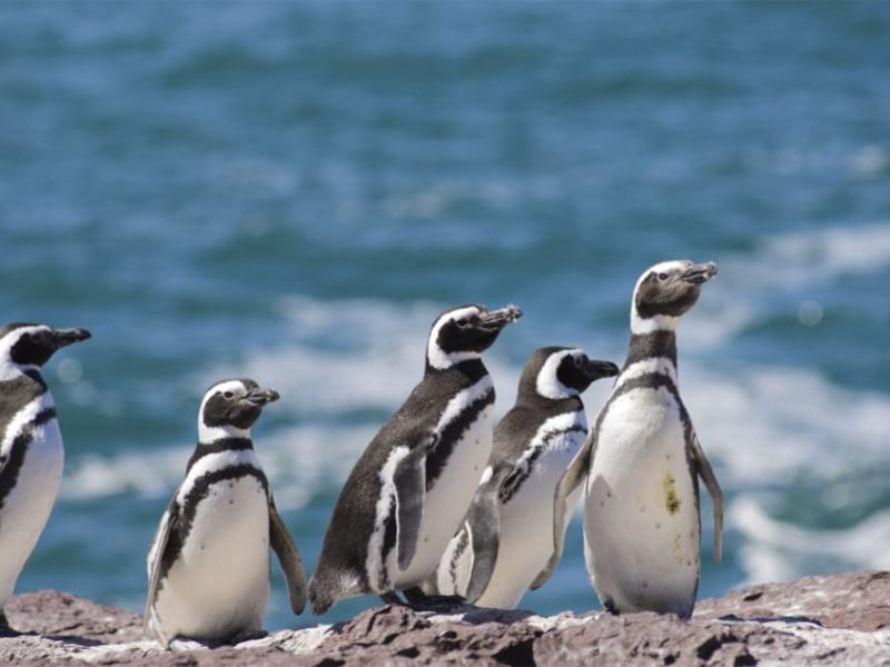 Argentinië Puerto Madryn Pinguïns