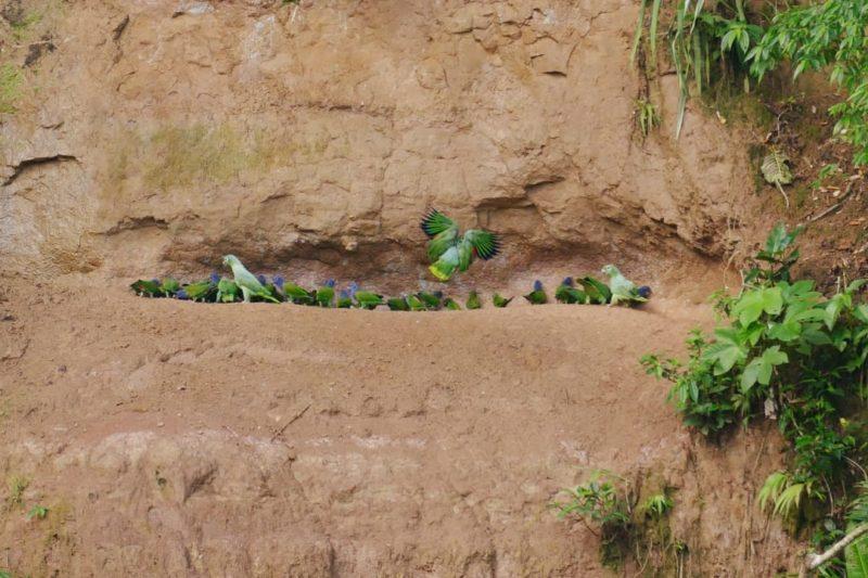 Ecuador Napo Wildlife Center Claylick