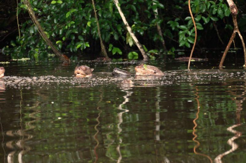 Ecuador Napo Wildlife Center Gigantische Rivier Otters
