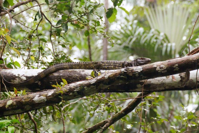 Ecuador Napo Wildlife Center Kaaimanteju