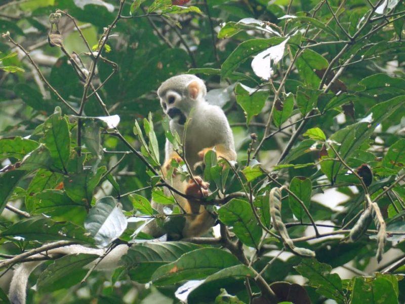 Ecuador Napo Wildlife Center Kapucijnsaapje