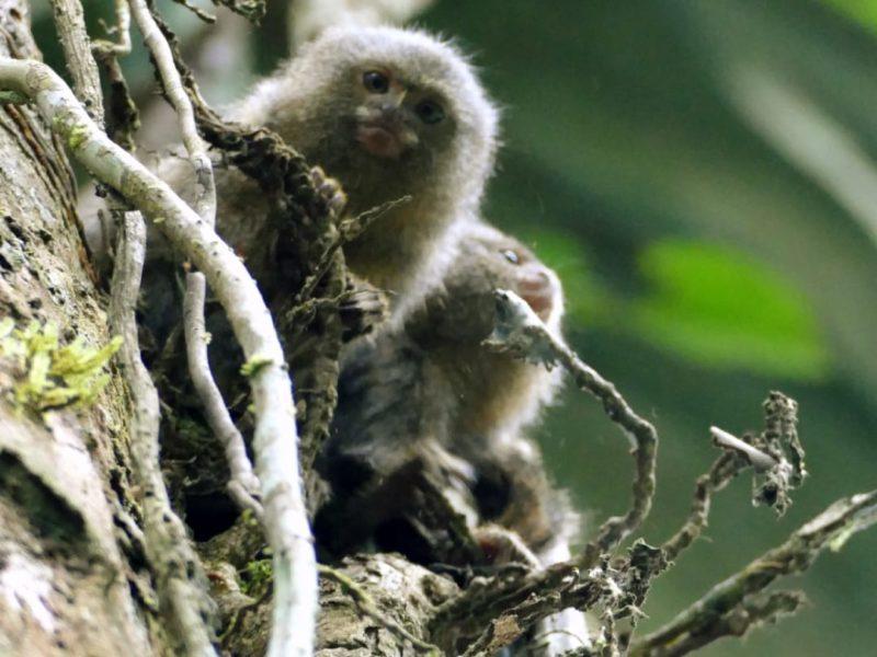 Ecuador Napo Wildlife Center Kleinste Aapje Ter Wereld