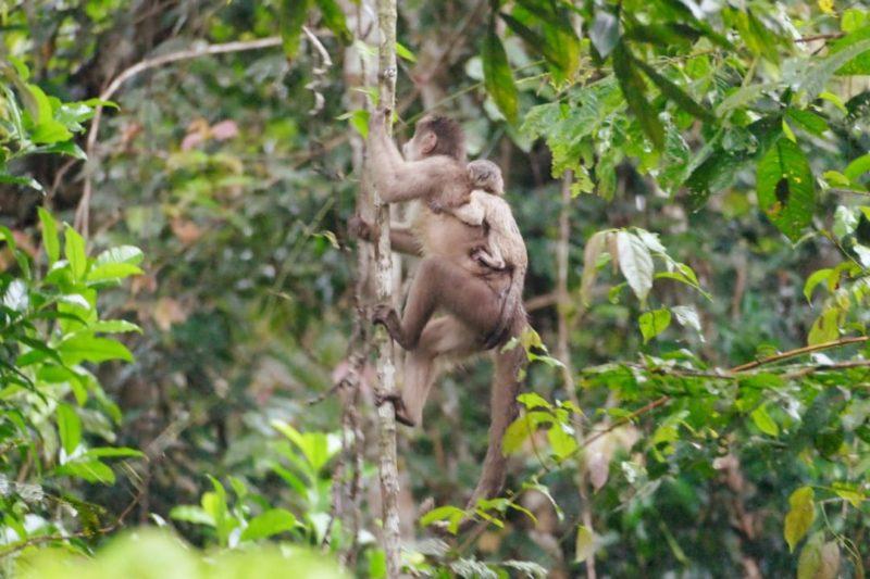 Ecuador Napo Wildlife Center Moeder En Baby Aap
