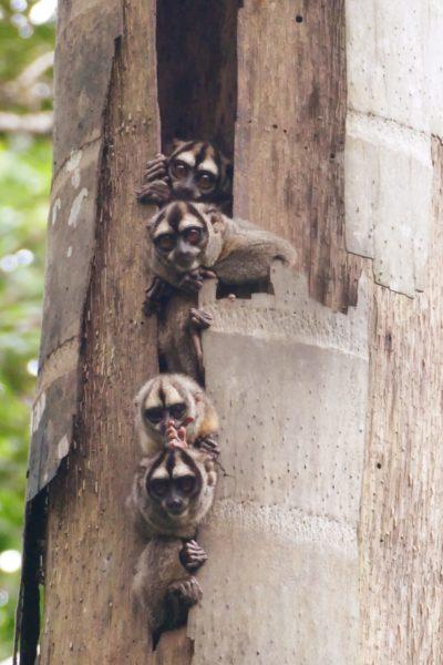 Ecuador Napo Wildlife Center Nachtaapjes