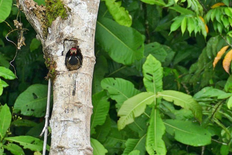 Specht In De Boom Amazone Ecuador