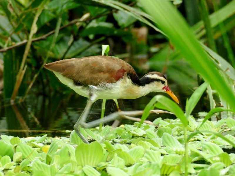Bijzondere Vogel In Amazone Ecuador
