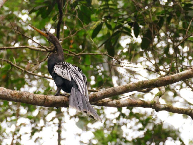 Amazone Ecuador Vogel