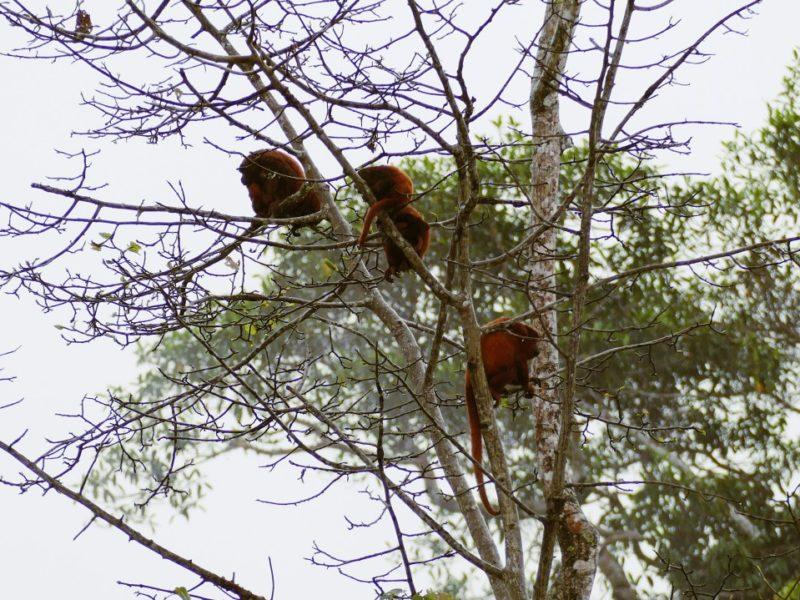 Apen In De Amazone In Ecuador
