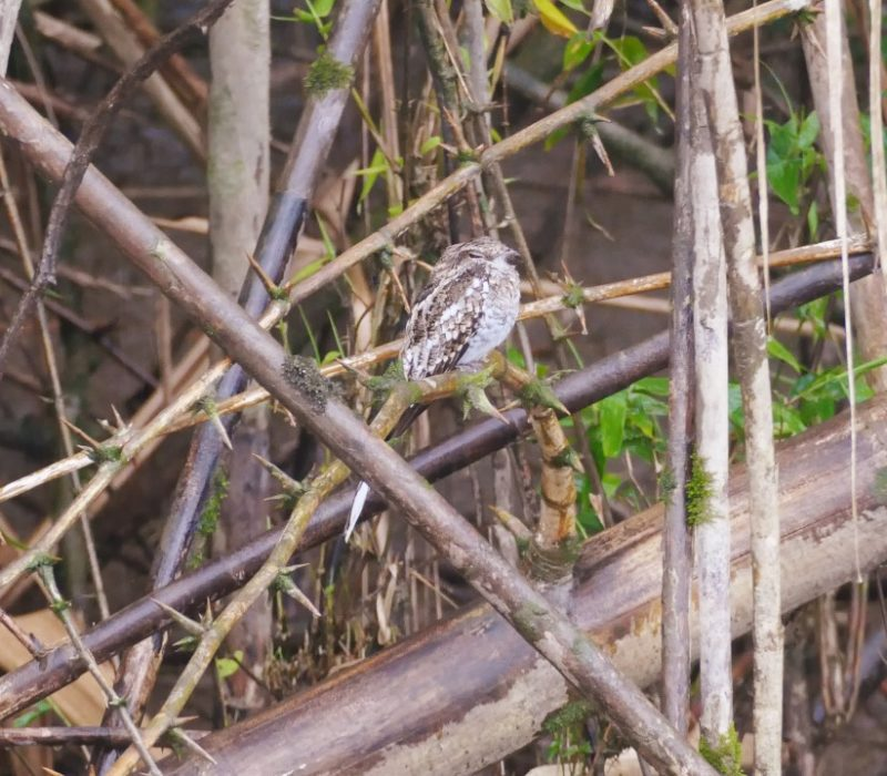 Camouflage Vogel Napo Cultural Center