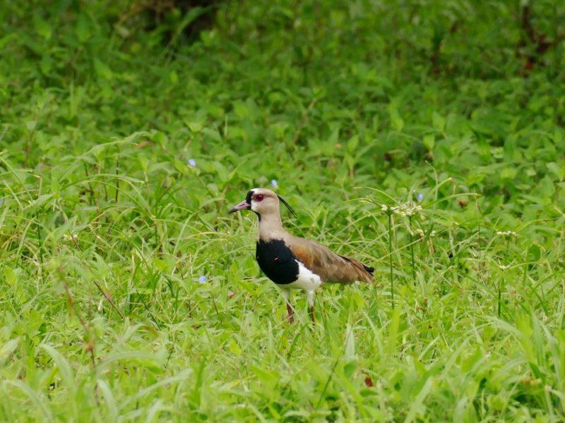 Vogels Lopend Op Het Gras