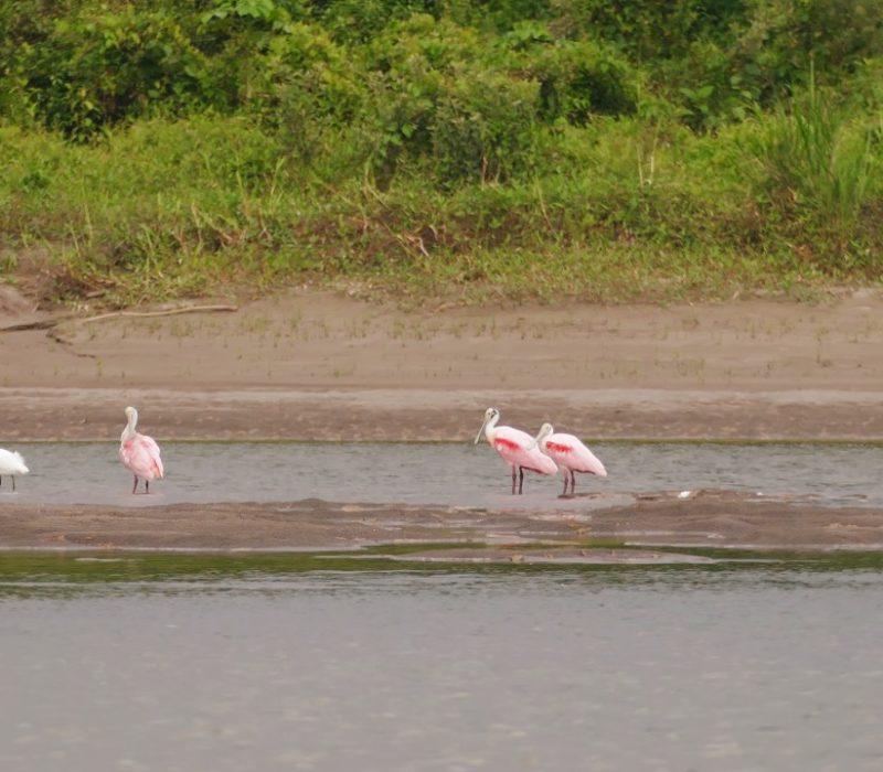 Roze Flamingos In De Amazone In Ecuador