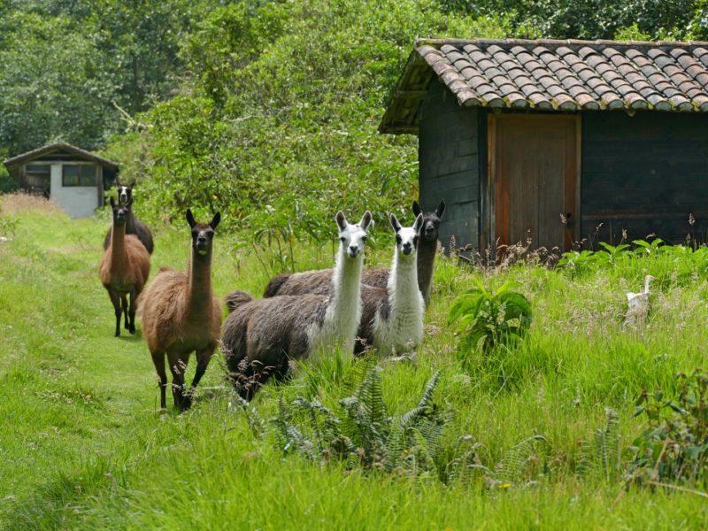 Hacienda Zuleta Lamas