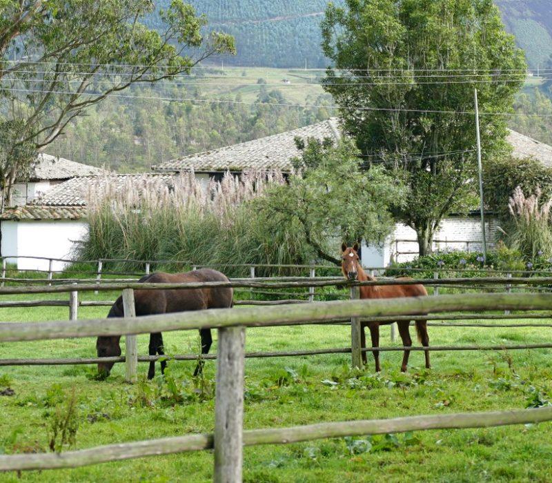 Paarden Van Hacienda Zuleta In De Wei