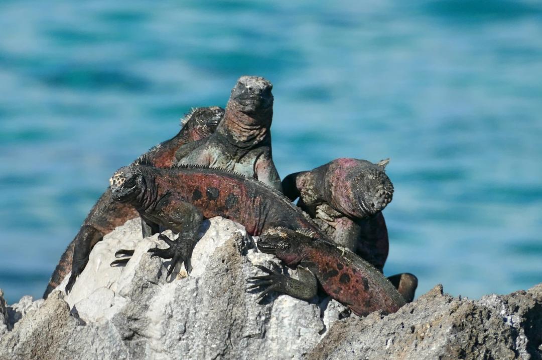 Luxe Galapagoscruise Leguanen
