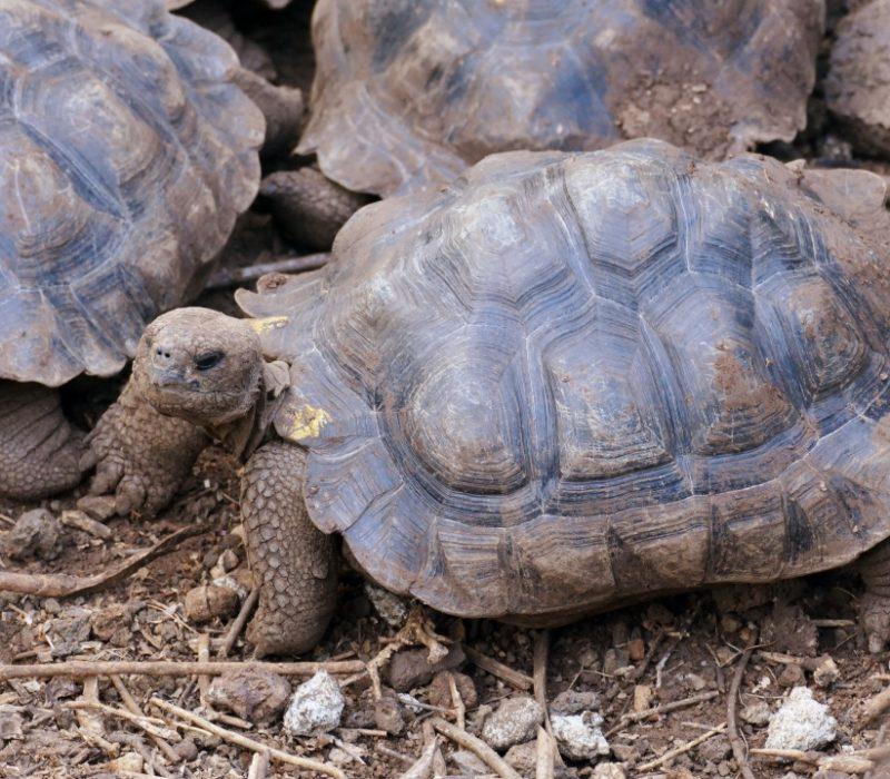 Mini Reuzenschildpadden Op De Galapaguera