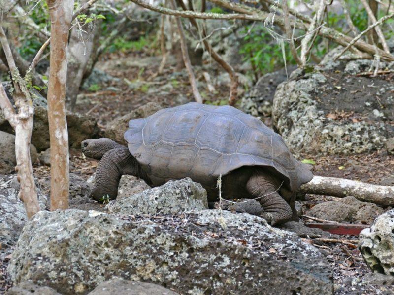 Galapagos_Reuzenschildpad_Galapaguera