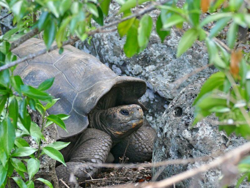 Reuzenschildpad Bij Galapaguer