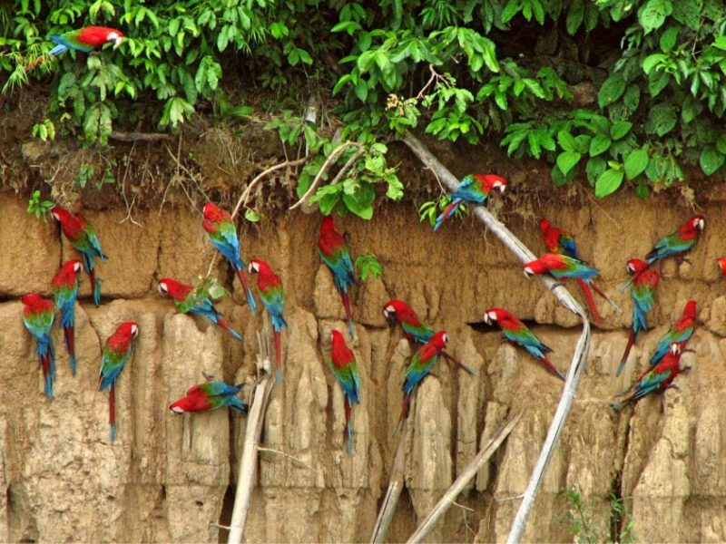 Claylick Met Gekleurde Papegaaien In Peru