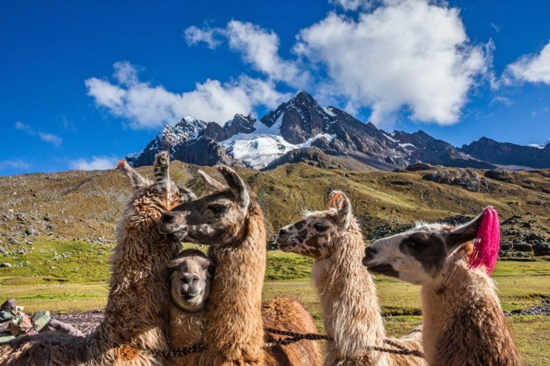 Prive Rondreis Peru Lamas
