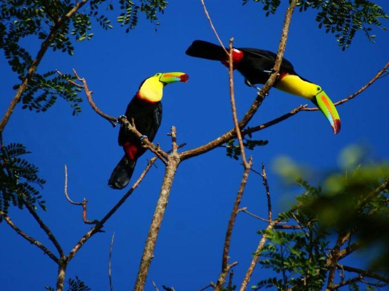 Toekan In Costa Rica Guanacaste