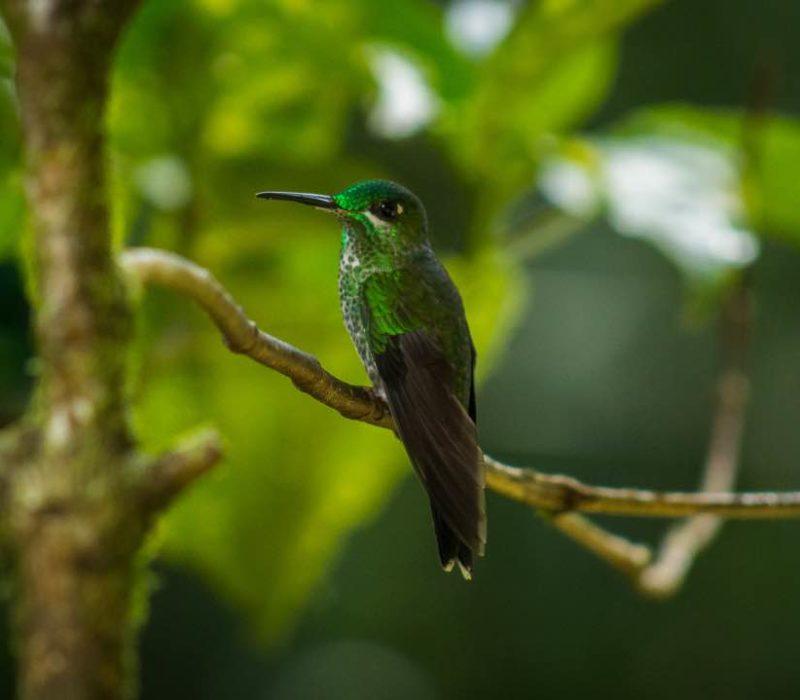 Kolibrie In Monteverde Costa Rica