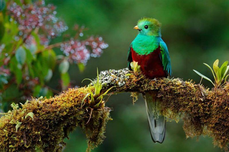 Quetzal In Monteverde In Costa Rica