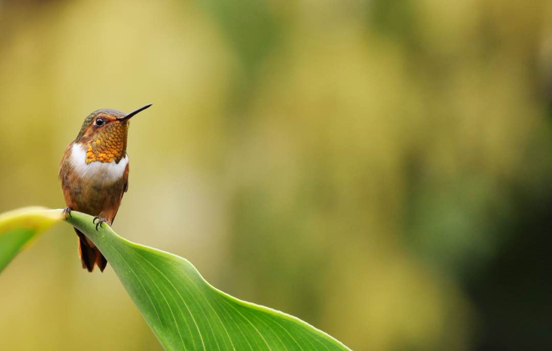 Paradijsvogel In San Gerardo De Dota Costa Rica