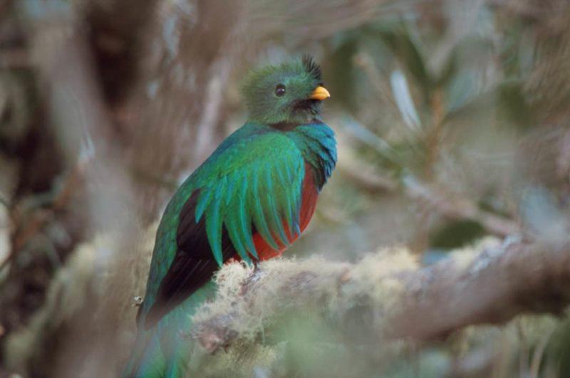Quetzal In San Gerardo De Dota Costa Rica