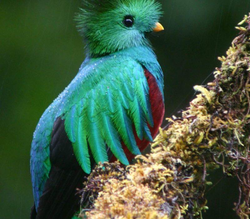 Quetzal In Costa Rica