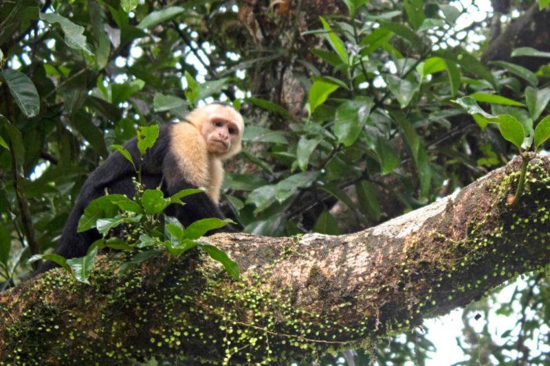 Aapje In Tortuguero Costa Rica