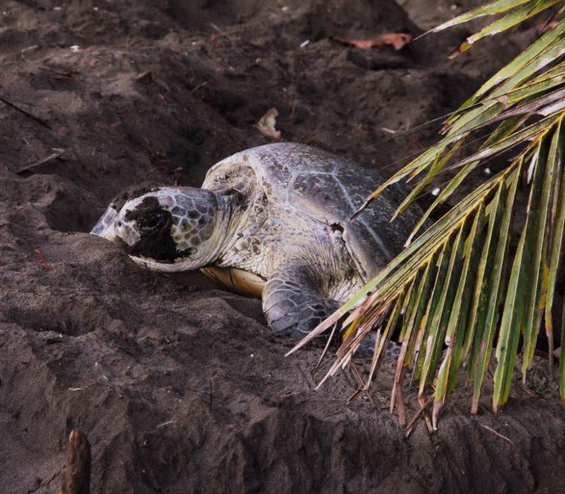 Groene Zeeschildpad Legt Eieren In Tortuguero Costa Rica